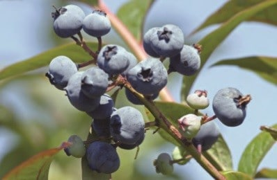 Blueberry Plant Care/Blueberry Fertilizer Guide
