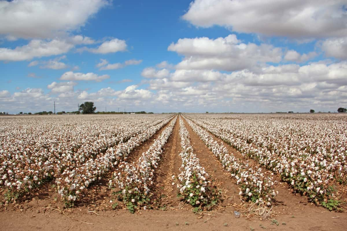 Fertilizer for Cotton Production in the South