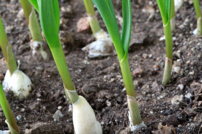 Garlic Fertilizer Guide