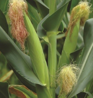 Organic Fertilizer for Corn