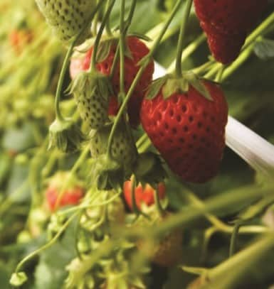 Buy Liquid Organic Fertilizer for Strawberries Online on Amazon
