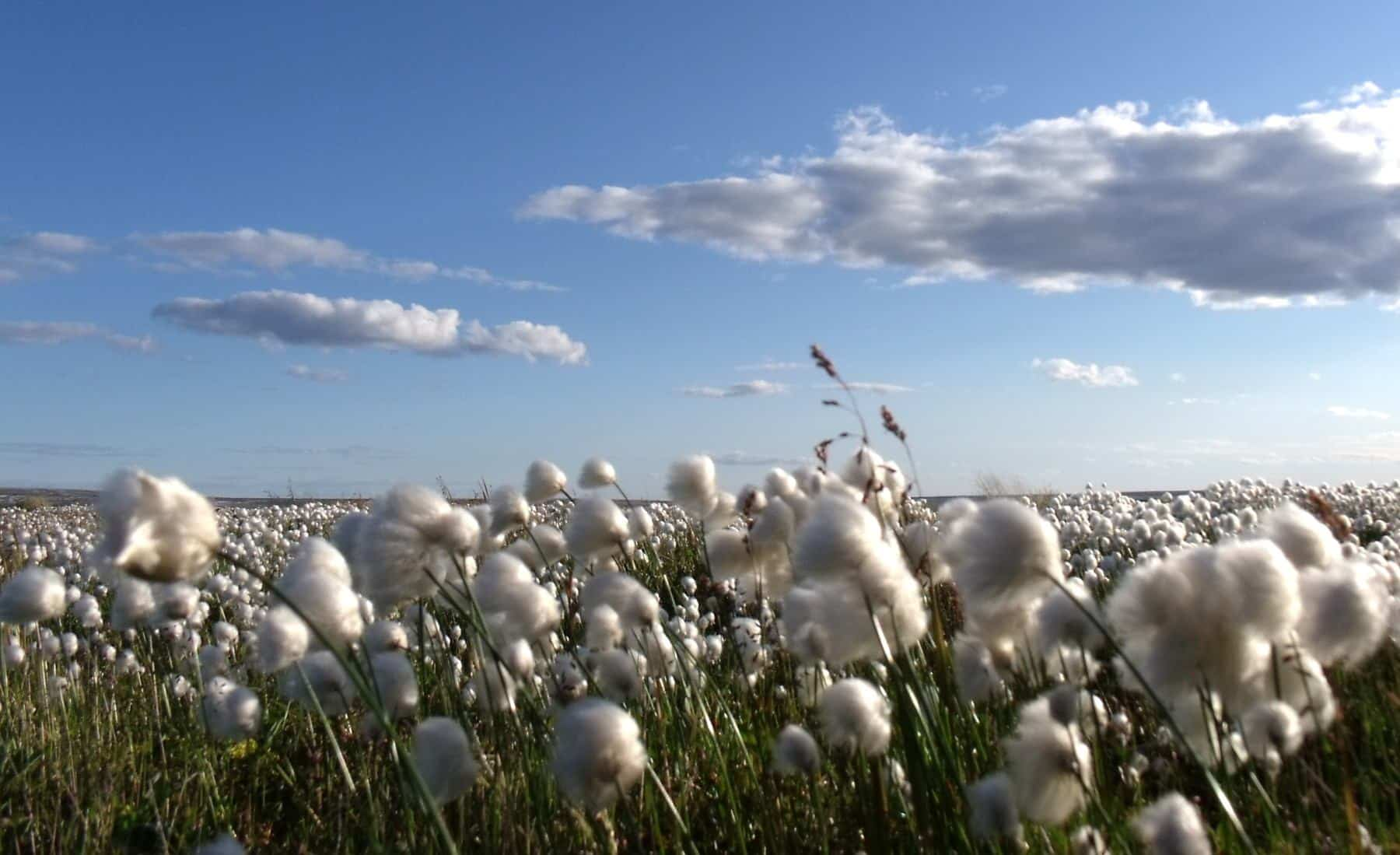 Cotton Fields in the Southeast. Fertilizer for Cotton Production in the South.