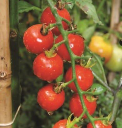 Buy Liquid Natural Fertilizer online for Tomato Plant Care