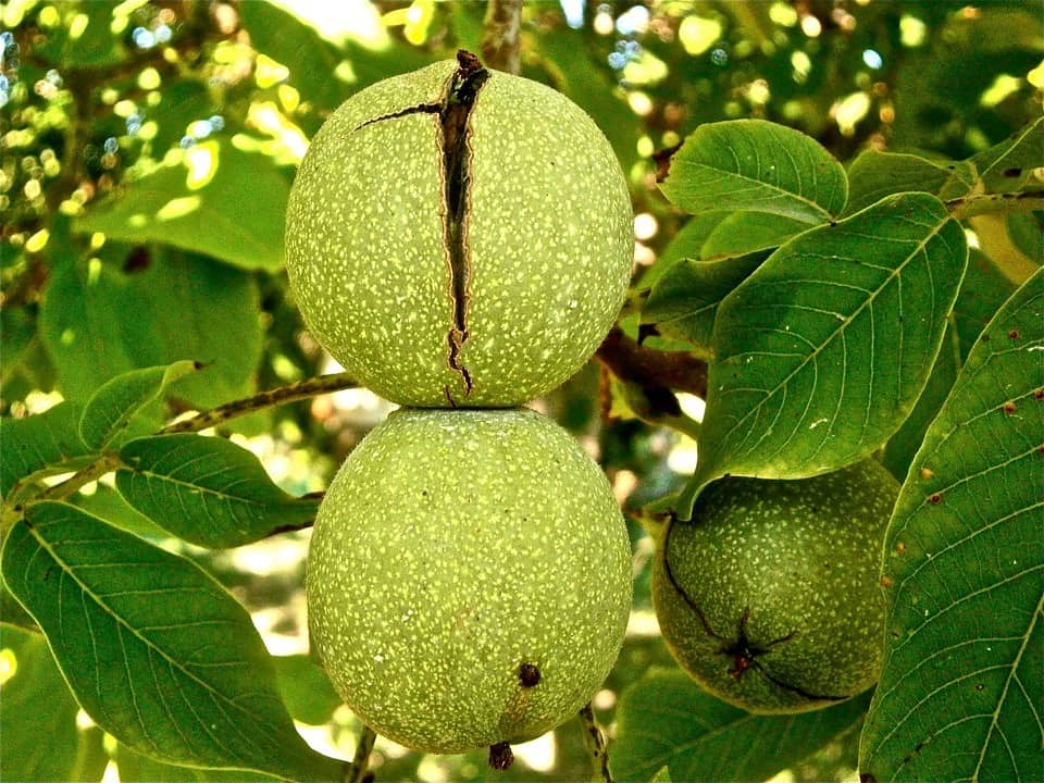 Where To Buy Neptune's Harvest Fertilizer for Walnuts
