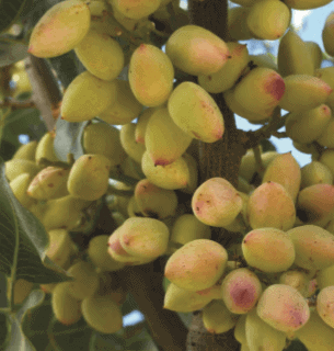Place to Buy All Purpose Fertilizer for Pistachios