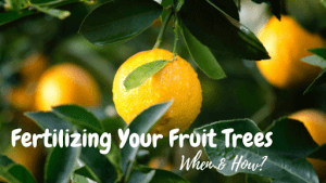 when and how should you fertilize fruit trees?