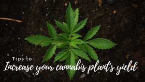 tips to increase cannabis plant yields