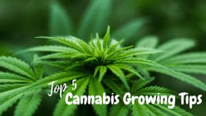 top 5 cannabis growing tips