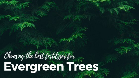 best fertilizers for evergreen trees