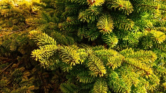 fertilizer spikes for evergreen trees