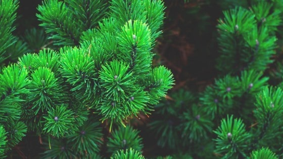 best fertilizers for christmas tree farms
