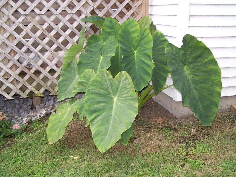 Best Fertilizer for Elephant Ear Plants – Beautiful Green-Leaves