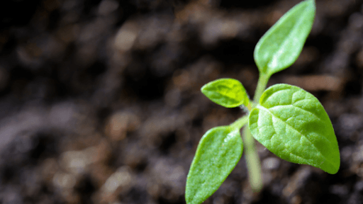 tomato plant sprout