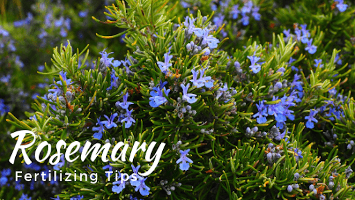 Growing Rosemary in your Garden