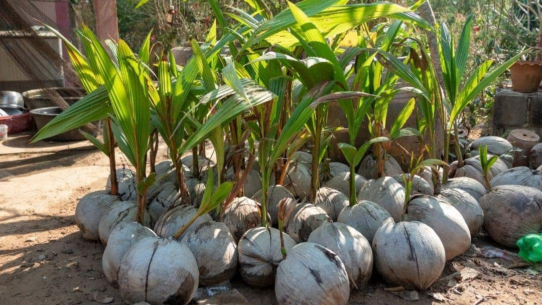 What's The Best Fertilizer for Coconut Trees? Each Coconut Palm Tree Produces 50-200 Coconuts Per Year in Ideal Conditions!