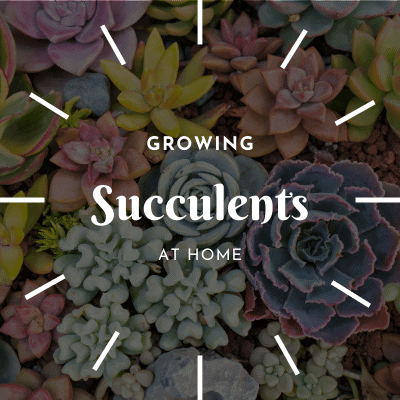 Succulent Soil Mix | Care Info | Potting Details 2020