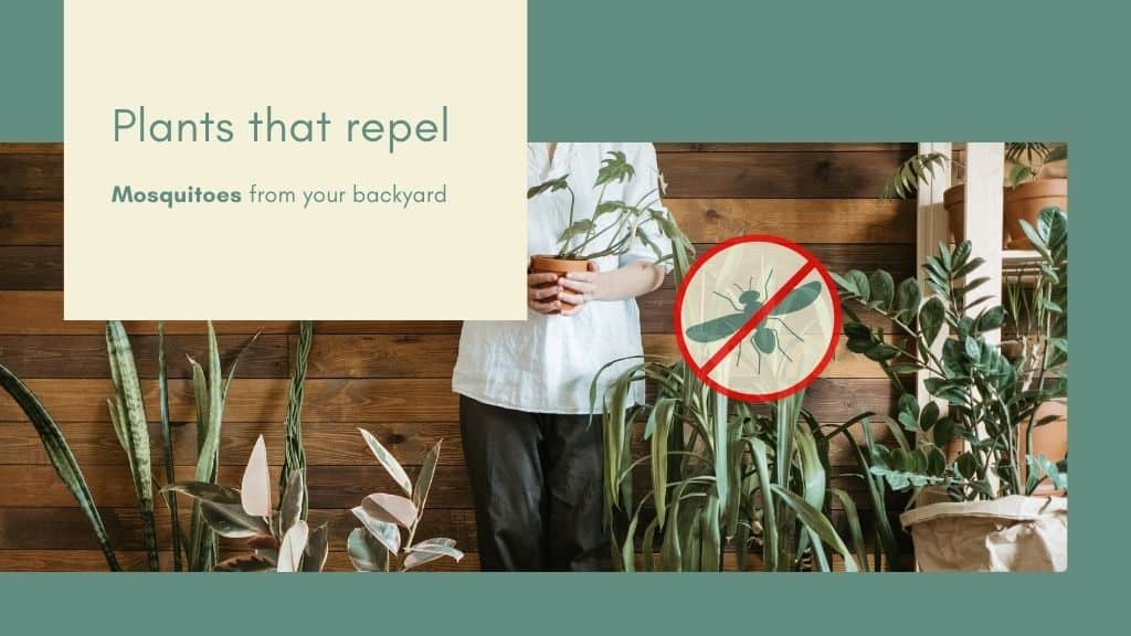Plants That Repel Mosquitoes From Your Backyard – A DIY Guide