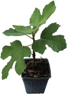 potted fig trees