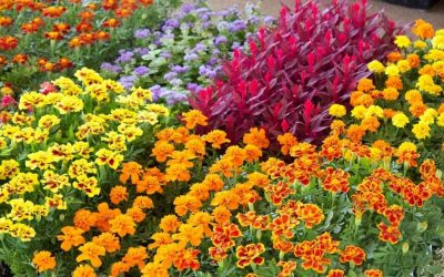 How to Grow Bedding Plants: Tips for Gardeners and Landscape Pros