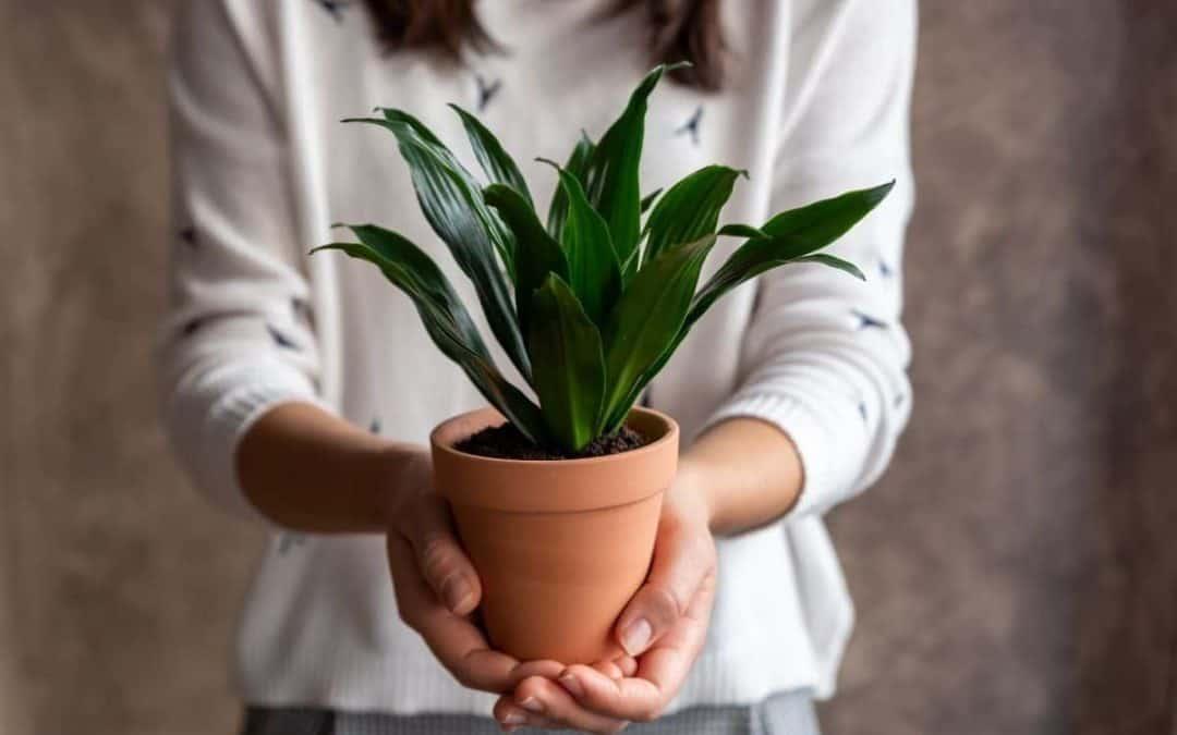 Dracaena Plant Care – How to Grow Dracaena Indoors