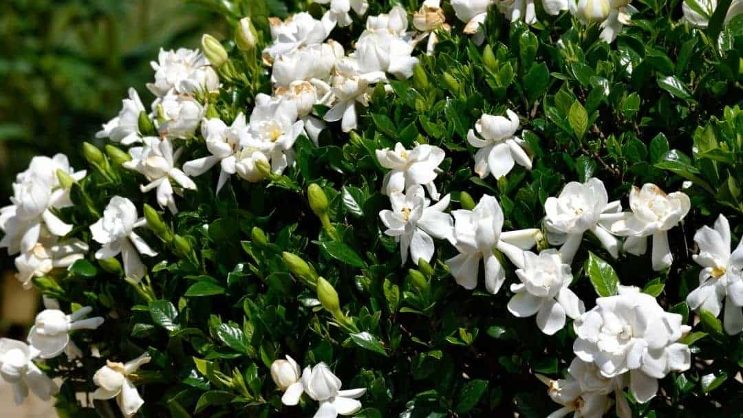 gardenia leaves and flowers