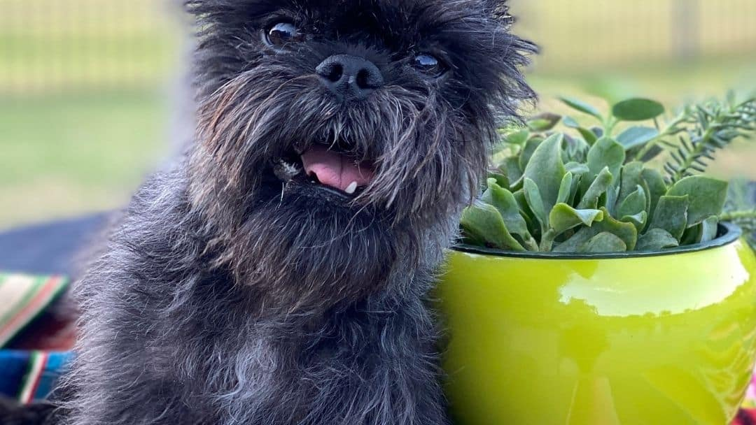 A picture of a small dog next to a succulent plant in a yellow pot - Not what people mean when they say 'succulent pup' but this article would not be complete without our furry friend here!