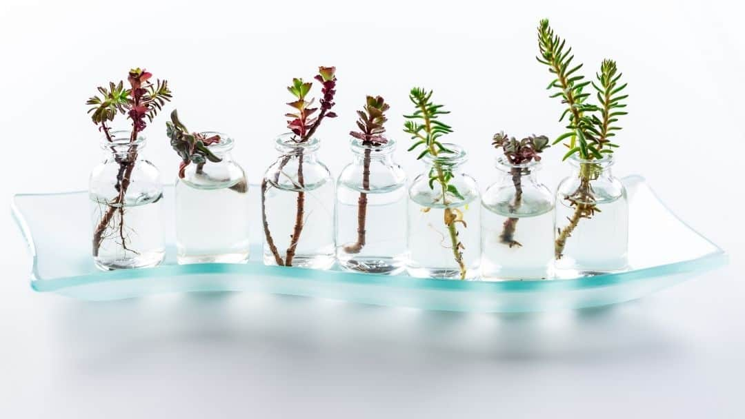 propagating several succulent cuttings in clear water