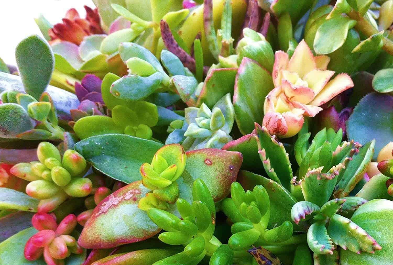 Shop Succulent Cuttings