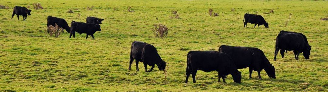 Cows grazing on fresh pasture